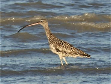 The Broadsound Wetlands provide important habitat for the critically endangered eastern curlew. Photo: Birdlife Australia
